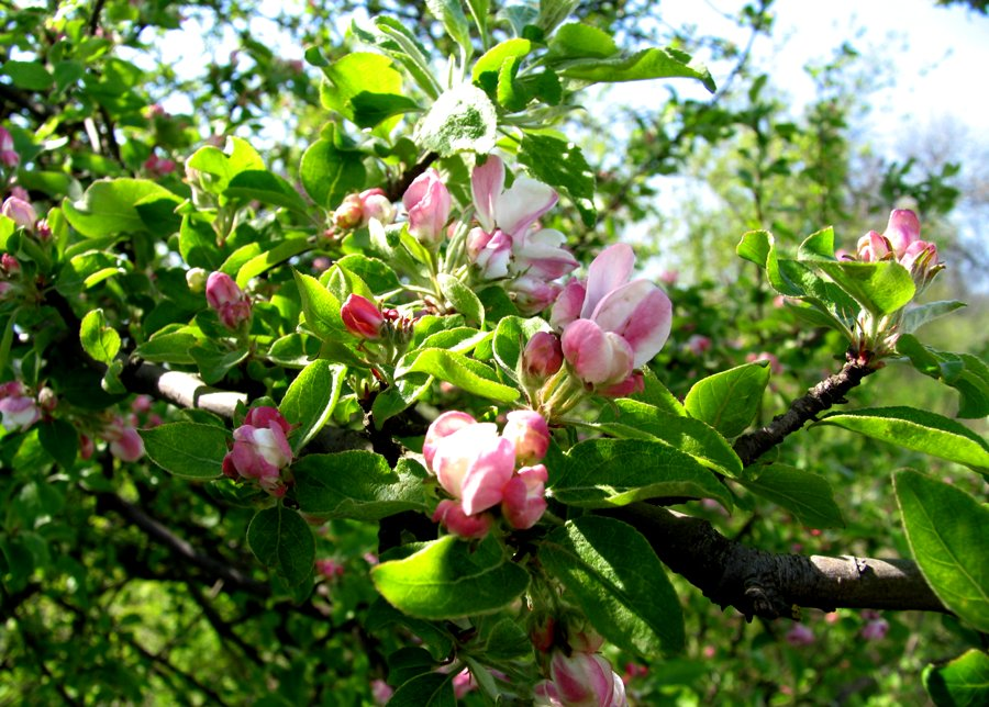 Apple blossom, Calarasi